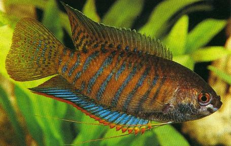 Indian Gourami ML